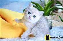 british shorthair kitten posted by thechubbyfacedcat