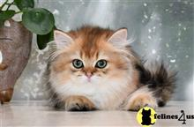 persian kitten posted by thechubbyfacedcat