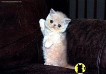 exotic shorthair kitten posted by exoticpersiankittens