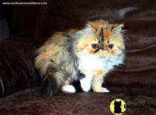persian kitten posted by exoticpersiankittens