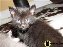 maine coon kitten posted by aevlopes