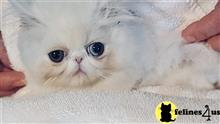 persian kitten posted by Toby149