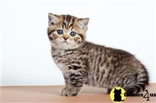 british shorthair kitten posted by ScottishFoldUSA