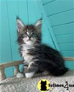 maine coon kitten posted by ScottishFoldUSA
