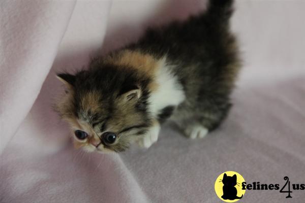 Persian Cat Rescue Austin Texas