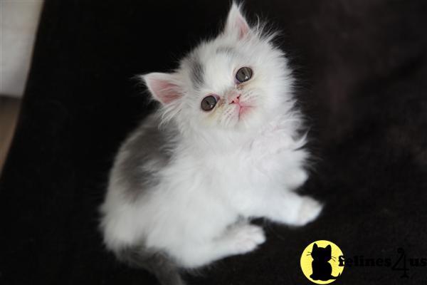Persian Kittens in Kentucky