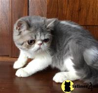 exotic shorthair kitten posted by imagineem