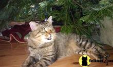 american bobtail kitten posted by Tammy Fugate