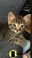 manx kitten posted by Tammy Fugate