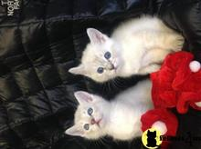 ragdoll kitten posted by Tammy Fugate