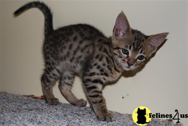 Exceptional F3C Male Savannah kittens