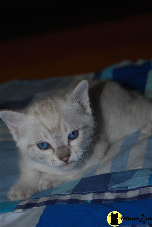 Kittens for Sale in Colorado