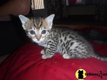 savannah kitten posted by swallace