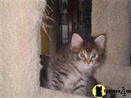 maine coon kitten posted by Williethemainecoon