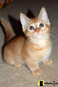 munchkin kitten posted by munchlets