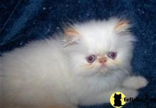 himalayan kitten posted by vickieviehmeyer