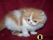 persian kitten posted by vickieviehmeyer