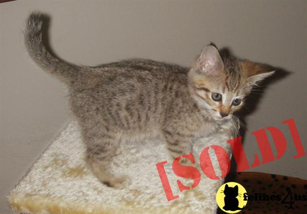 Pixie-Bob kittens Available now - Pixie-Bob Kittens for sale