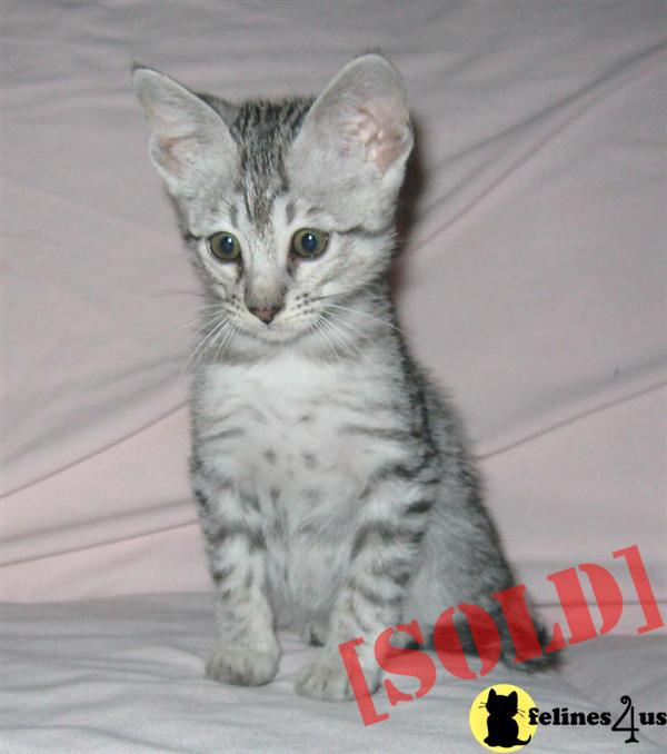 F4 Savannah Cats for Sale http://www.felines4us.com/Kittens/Savannah3326.aspx