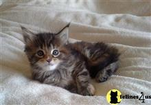 maine coon kitten posted by wyatt_harp