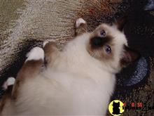 birman kitten posted by surmichaels