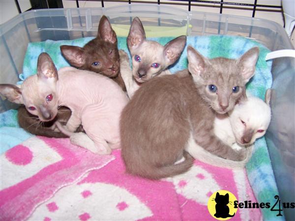 Sphynx Kittens in Missouri