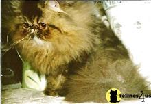 persian cat posted by sharadacats