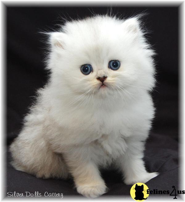 sale teacup persian cats White Teacup Persian Kitten