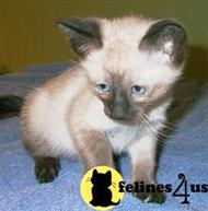 siamese kitten posted by morwaycat