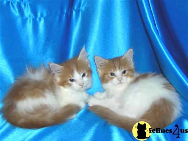 Maine Coon Kittens For Sale Charlotte Nc Pennysaverusa