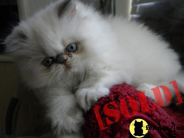 adorable cat breeds
