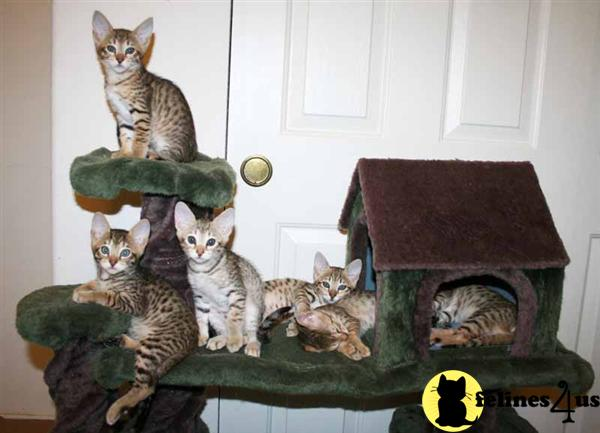 Kittens for Sale in Oregon