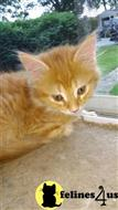 maine coon kitten posted by Belle650