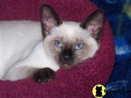 siamese kitten posted by enolagay