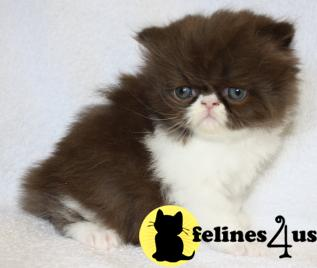 Kittens for Sale in Kansas