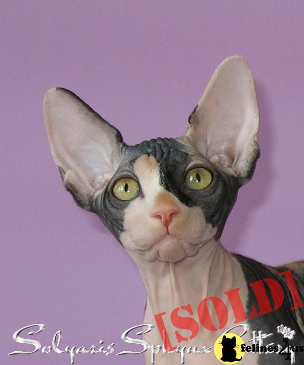 Canadian Sphynx Cattery Solyaris