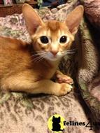 abyssinian kitten posted by catdreme