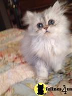 persian kitten posted by catdreme
