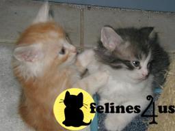 MN USA, Siberian Kittens