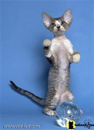 devon rex kitten posted by Viktoria