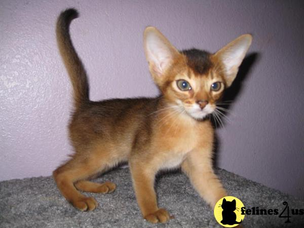 California Abyssinian Kittens
