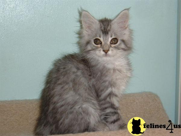 TX USA, Maine Coon Kittens