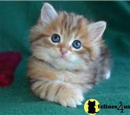 siberian kitten posted by lmunchrath