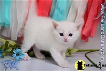 british shorthair kitten posted by FeliLand
