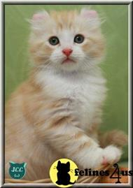 american curl kitten posted by jccurlcomet