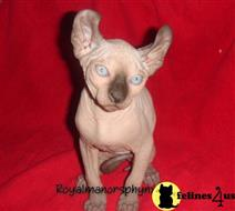 sphynx kitten posted by royalmanor