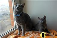 russian blue kitten posted by Nemesis