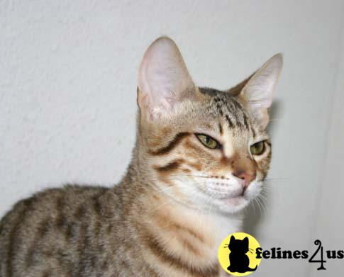 F4 Savannah Cats for Sale http://www.felines4us.com/Cats/Savannah91.aspx