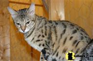 savannah cat posted by jbankson