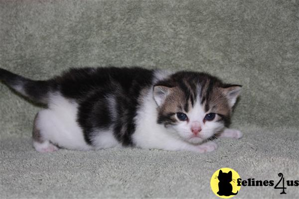 CFA Registered American Shorthairs